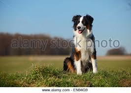 australian shepherd black australian shepherd black tri dog running through water