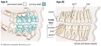 Dog Tooth Anatomy Tooth Anatomy Britannica Com
