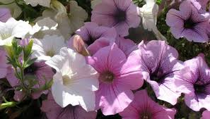 Fragrant Flowers Most Scented Flowers Garden Guides