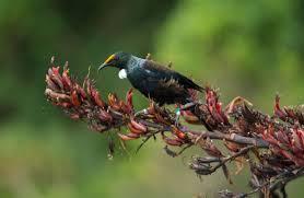 native plants of new zealand tui new zealand native land birds