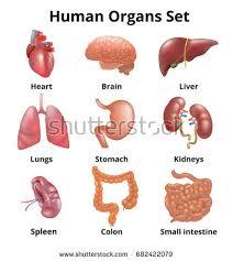 Anatomy Of Human Body Organs Human Anatomy Stock Images Royalty Free Images U0026 Vectors