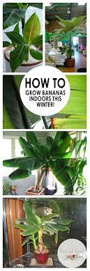 best 25 banana growing ideas on fruit garden grow