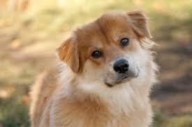 rescue an australian shepherd puppy adopted australian shepherd and golden retriever mix sunni