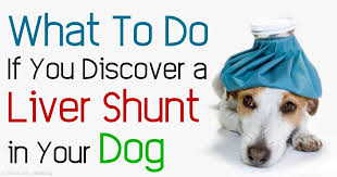 Dog Going Blind What To Do Liver Shunts In Dogs