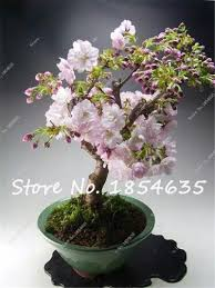 20pcs weeping cherry tree diy home garden tree