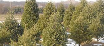 cut your own christmas tree in buckeystown maryland