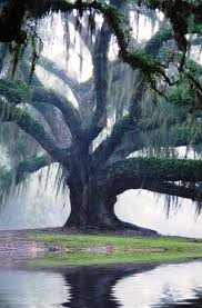 White Oak Tree Drawing Best 25 Oak Tree Ideas On Pinterest Big Tree Angel Oak Trees