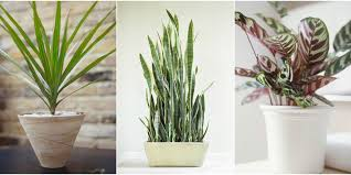 indoor trees that don t need light 10 houseplants that can survive in even the darkest corner low