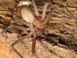 Male Spider Anatomy Loxosceles Reclusa Brown Recluse Oklahoma Spider Picture 1