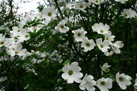 tree with white flowers white flower tree flowers free nature pictures by