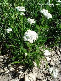 utah native plants albion basin wild flower identification