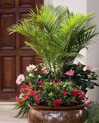 11 best houseplants images on pinterest majesty palm
