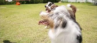 australian shepherd gif jota and jinkyung wgm ep 15 aka the one where jota meets his in