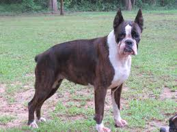 boxer dog reverse brindle babybull boxers boxer boxer puppies boxer puppies for sale