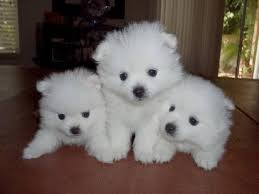 american eskimo dog black i think american eskimo puppies have to be the cutest puppies ever