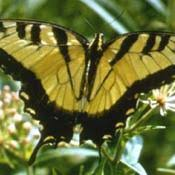 state butterfly eastern tiger swallowtail butterfly
