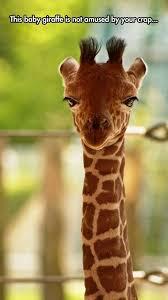 Drunk Giraffe Meme - 12 funny giraffe memes that will make your day i can has cheezburger