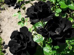 real black roses real black roses real black roses pictures www pixshark