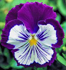 purple flowers cee s foto challenge blue or purple flowers cee s photography