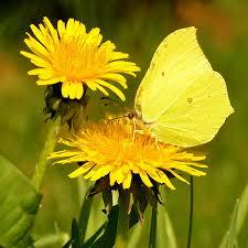 yellow butterfly on yellow flower by svitakovaeva on deviantart