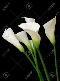 Image Of Calla Lily Flower - calla lily flower on black background stock photo picture and