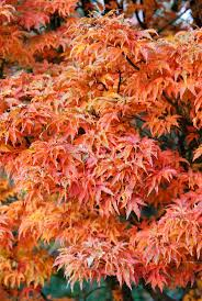 era nurseries buy trees online wholesale australian native 47 best trees for backyard images on pinterest garden trees