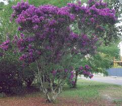 tree with purple flowers purple flowering tree these trees think it s are flickr