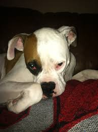 boxer dog quebec 3034 best boxer dogs images on pinterest