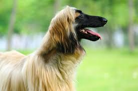 afghan hound therapy dog 20 dog breeds for allergy sufferers