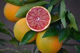 how to grow citrus trees organic gardening