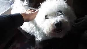 bichon frise 6 years old blind u0026 diabetic bichon frise dog youtube