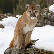 anecdotal aardvark cougar the biggest animals kingdom