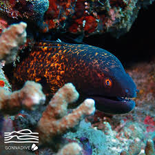 150 m to ft the yellow edged moray can be found at depths to 150 m 495 ft