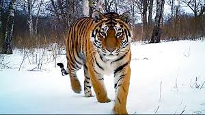 siberian tiger kill operation tiger