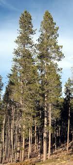 rocky mountain bushcraft rocky mountain tree identification