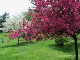 apple tree bloom wallpapers crab apple trees in bloom by ronbweather photo weather underground