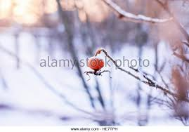 Little Berry Red Berry Snow Landscape Stock Photos U0026 Red Berry Snow Landscape
