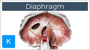 Picture Of The Abdomen Organs Diaphragm Definition Function Muscle U0026 Anatomy Human Anatomy