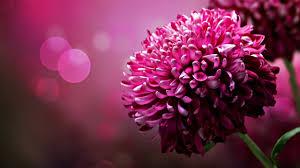 pink flower pink flower hd