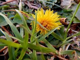 Dandelion Facts Dandelion Wildflower Weed Or Something In Between The