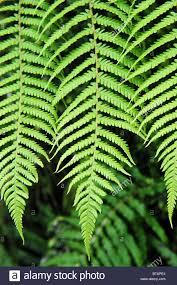 new zealand native plants silver fern leaf in native new zealand bush the silver fern is
