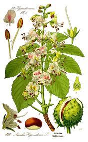 Plant Diseases Wikipedia - aesculus hippocastanum wikipedia