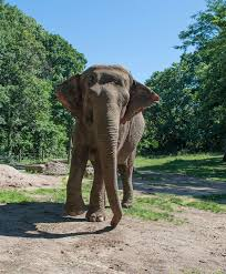 bored at home create your own zoo the bronx zoo s loneliest elephant the new york times