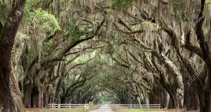 mossy oak tree oak trees