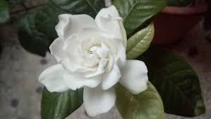 file blooming stages of gardenia flower 04 jpg wikimedia commons