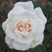 white blend sombreuil large flowered climber rose plants