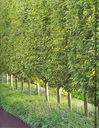 hornbeam columnar european a great tree for privacy in the summer