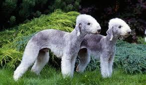 bedlington terrier guide bedlington terrier breed information