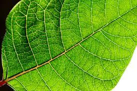 file backlit green poinsettia leaf jpg wikimedia commons