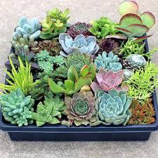 succulents for sale online mountain crest gardens succulent plants